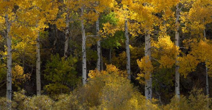 Aspen trees changing colors in the fall around Lee Vining in Northern California.